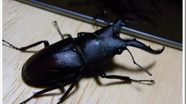北海道の十勝帯広でクワガタを探していたらカブトムシを見つけた件について