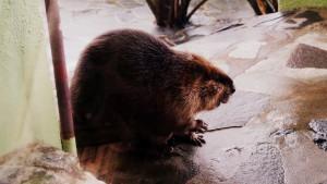 札幌市円山動物園_アメリカンビーバー