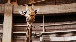 札幌市円山動物園_マサイキリン