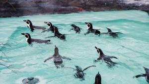 札幌市円山動物園_フンボルトペンギン
